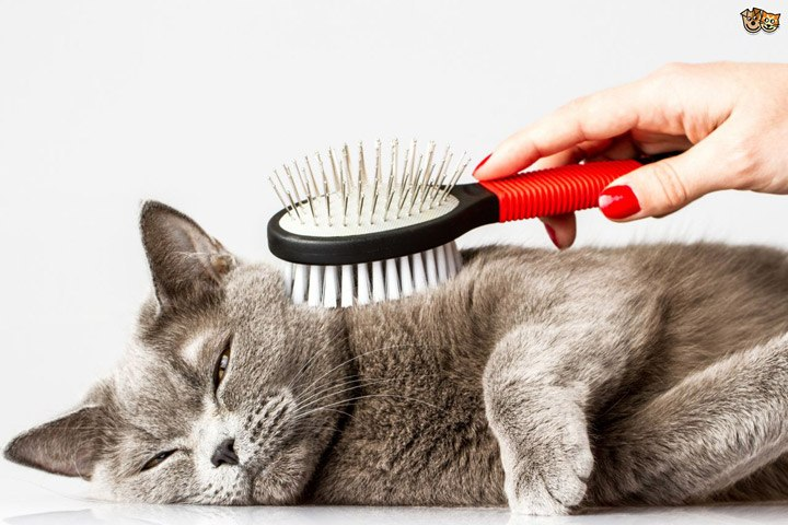 Brush a british shorthair cat that lay on the floor