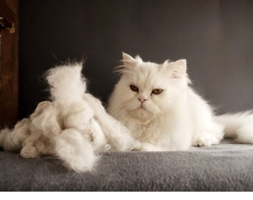 Persian cat shedding