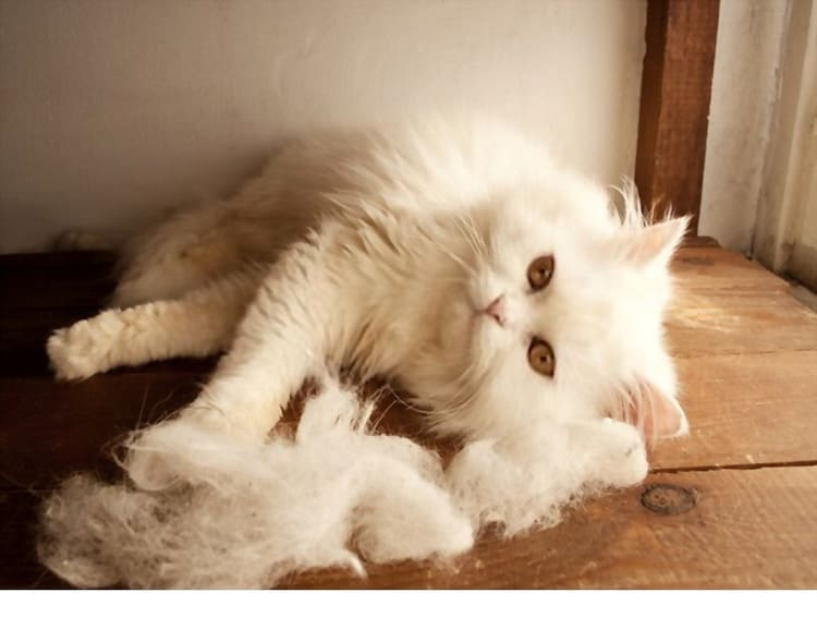 Persian cat beside piles of cat hair
