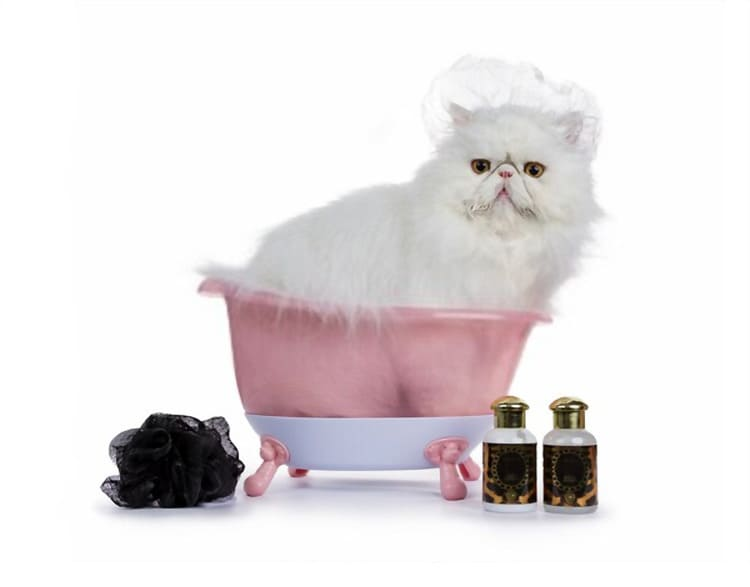 White persian cat is wearing a shower cap