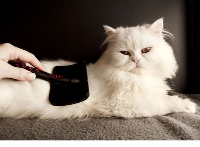 Woman combing fur of a white Persian cat