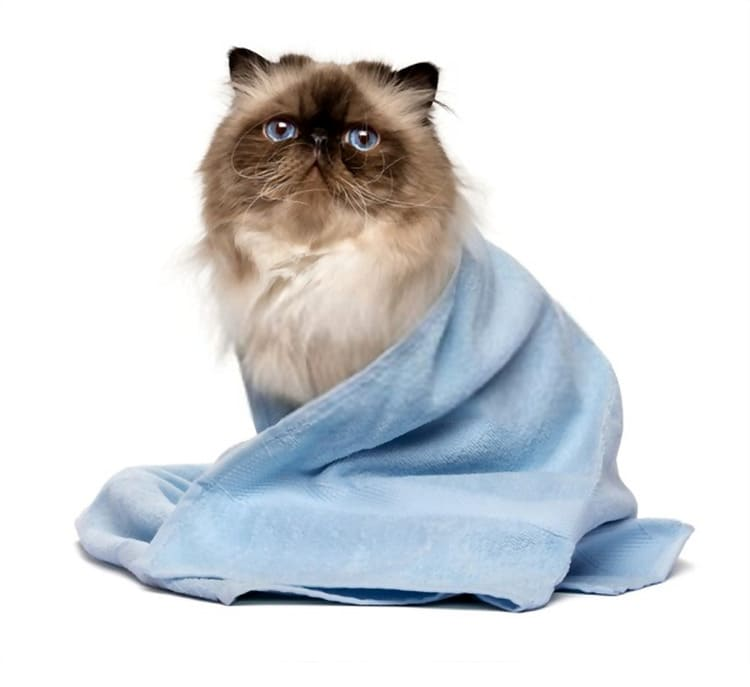 Cute groomed persian seal colourpoint cat after bath is sitting wrapped in a blue towel