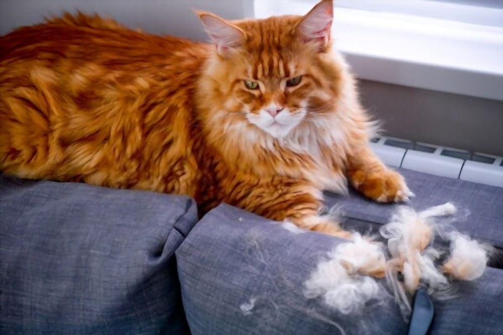Comb a Maine Coon's fur