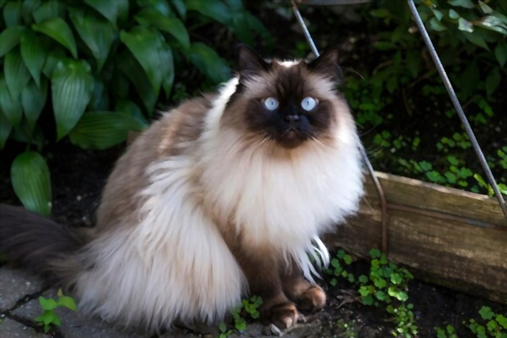 Best brush for Himalayan cat