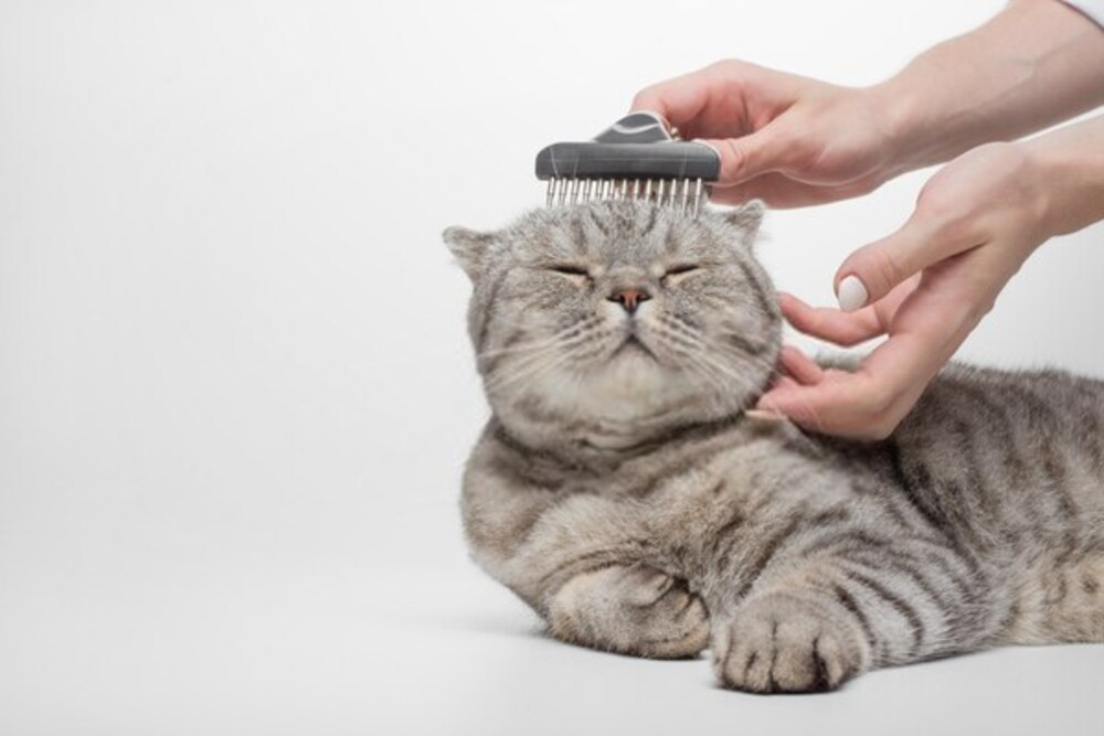 Grooming the coat of a Scottish cat