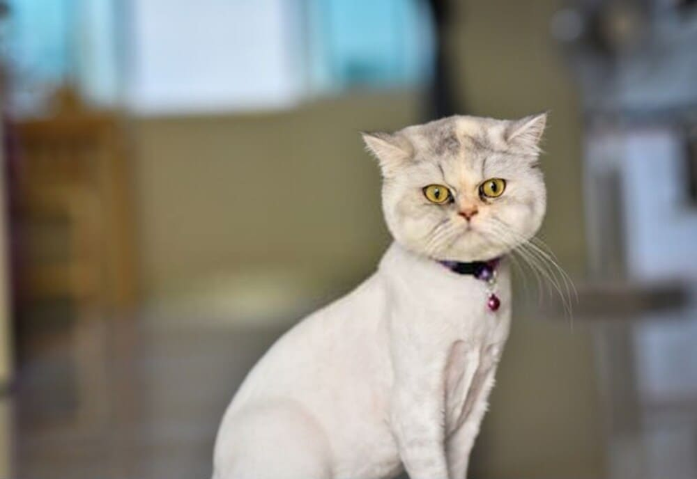 Persian cat haircut styles with clipper