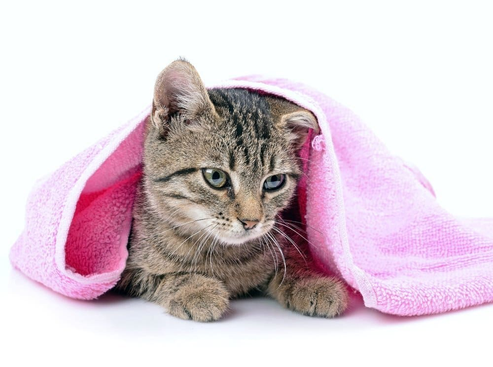Kitten bathing with a towel