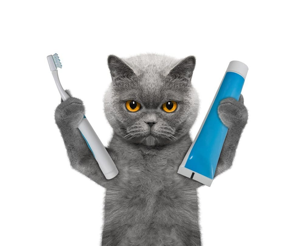 Cat is going to clean the teeth