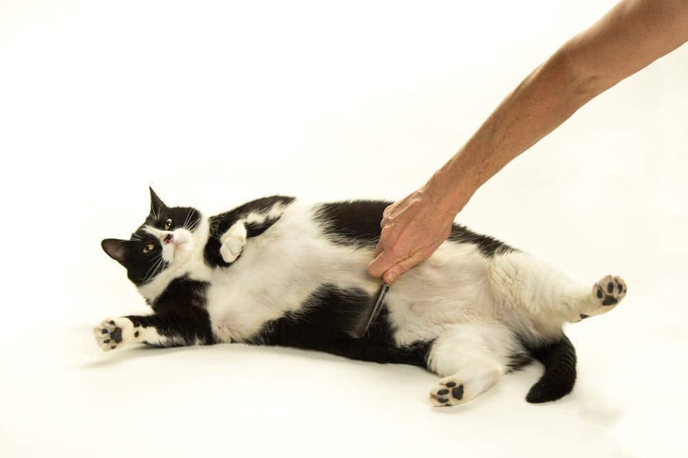 A fat black and white cat being groomed