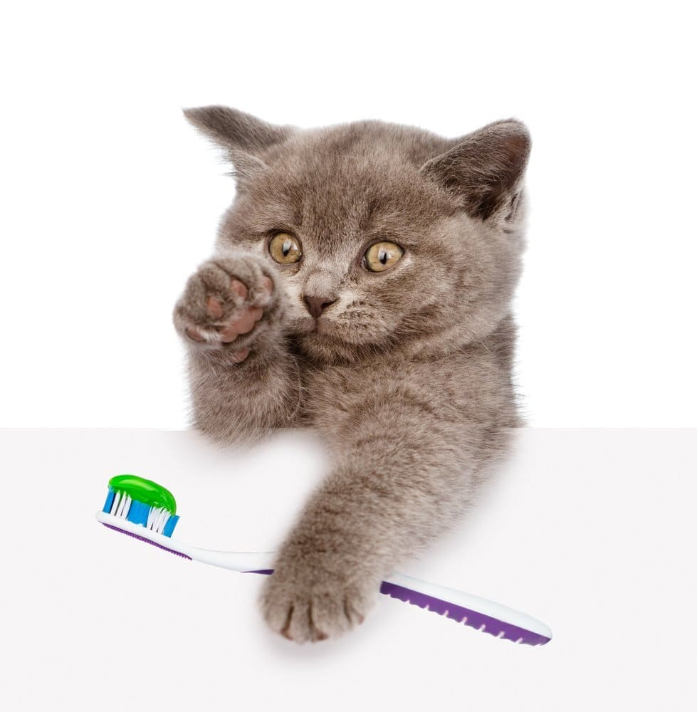 Kitten with a toothbrush