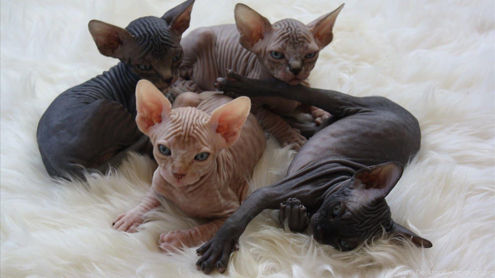 Sphynx cat bath