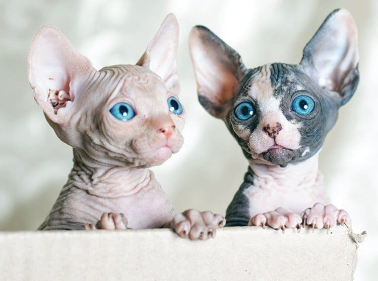 Caring for Your Sphynx Cat